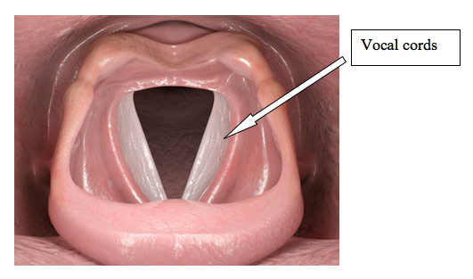 http://www.ohniww.org/wp-content/uploads/2013/03/falsetto_vocal_cords.jpg